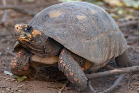 Reingresarán a la tortuga yabotí al Parque Nacional El Impenetrable chaqueño