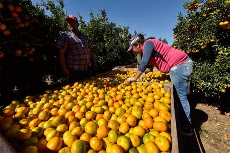 La AFIP extendió y amplió los beneficios contemplados en la Ley N° 27.569, que prorrogó por un año más la emergencia citrícola.