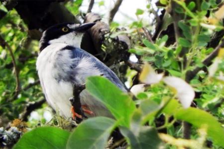 El registro del Frutero cabeza negra fue realizado por integrantes del Club de Amigos de Aves Silvestres que lo observaron en un hábitat característico de Feliciano.