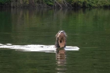 La nutria gigante avistada en una laguna a orillas del río Bermejo, en el Parque Nacional El Impenetrable (Chaco).
