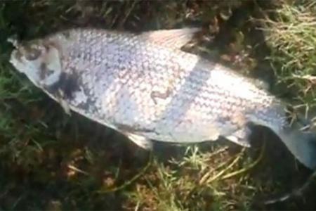 La mortandad de ejemplares –algunos con más de cinco kilos- fue filmada en la cantera Tellería de Maciá y los pobladores adjudican a los agrotóxicos.