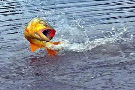 pescado de río
