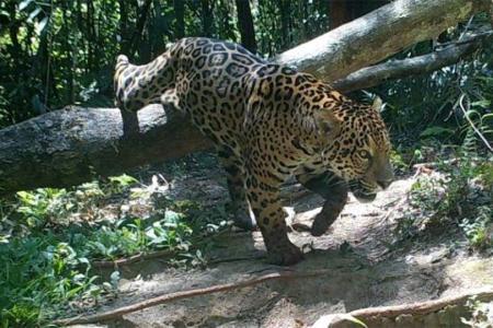 Imagen de archivo de un yaguareté en la selva misionera.
