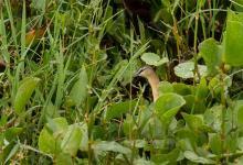 """La especie """"burrito amarillo"""" fue avistada en Bella Unión (ROU), Federal y Colonia Ayuí (Departamento Concordia)."""