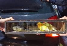 Las aves fueron secuestradas y serán liberadas en su hábitat natural.