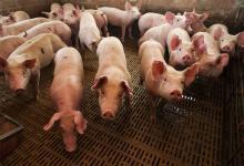 La Argentina hoy produce unas 750 mil toneladas de carne porcina.