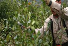 cosecha de yerba mate