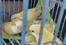 En total se secuestraron tres jaulas y 15 aves.