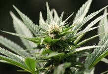 Flor marihuana