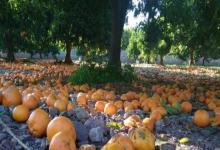 Alertaron por la pérdida de naranjas en Misiones por la escasez de cosecheros