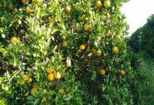 plantaciones cítricas