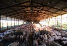 Con un importante compromiso en inversión en sanidad, genética, nutrición, e infraestructura, la producción porcina crece de manera sostenida en la provincia.